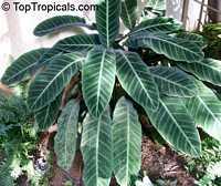 Calathea zebrina, Calathea  Click to see full-size image