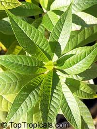 Pouteria caimito, Abiu, Caimito  Click to see full-size image