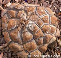Dioscorea elephantipes, Dioscorea macrostachya, Dioscorea mexicana, Testudinaria elephantipes, Elephant foot, Turtle shell, Hottentot-BreadClick to see full-size image