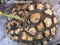 Dioscorea elephantipes - seeds  Click to see full-size image