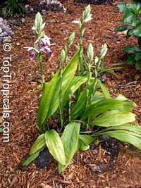 Phaius tankervilleae, Chinese Ground Orchid, Nun Orchid