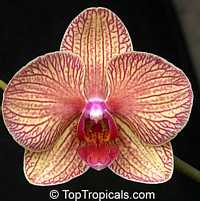 Phalaenopsis sp., Phalaenopsis Orchid, Moth Orchid  Click to see full-size image