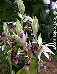 Phaius tankervilleae, Chinese Ground Orchid, Nun OrchidClick to see full-size image