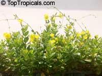Urechites lutea, Vinca lutea, Pentalinon luteum, Yellow Mandevilla, Yellow Dipladenia, Wild Allamanda  Click to see full-size image