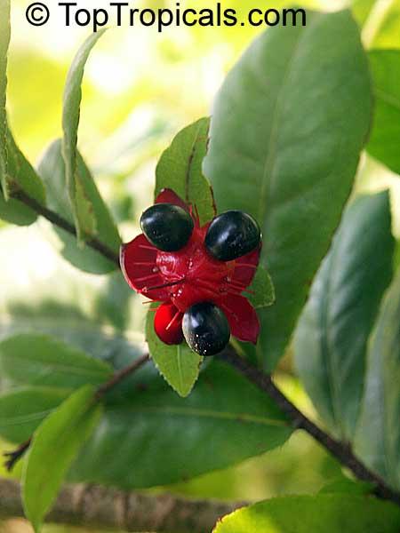 Ochna Integerrima Ochna Thomasiana Vietnamese Mickey