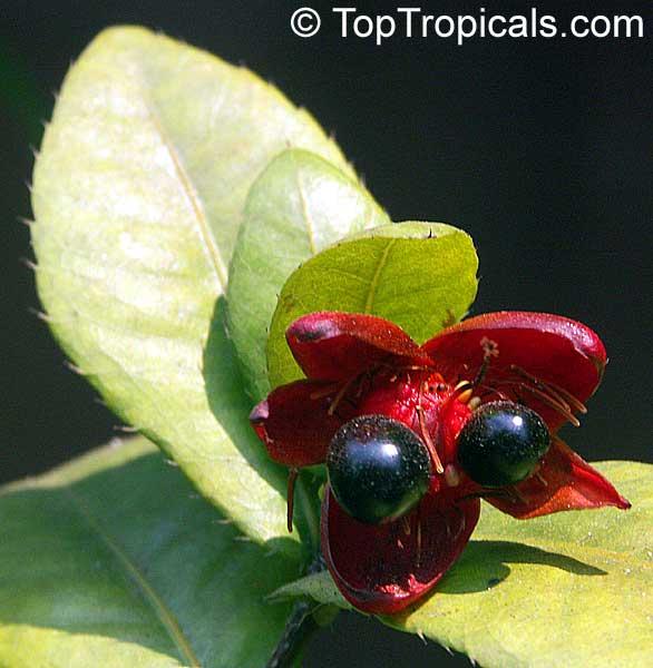 Ochna Integerrima Ochna Thomasiana Vietnamese Mickey Mouse Plant