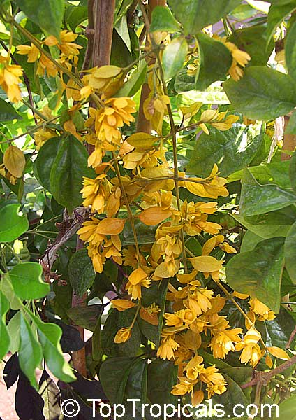 Petraeovitex Bambusitrum Nong Nooch Vine Toptropicals Com