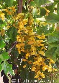 Petraeovitex bambusetorum - Nong Nooch VineClick to see full-size image