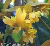 Petraeovitex bambusetorum, Petraeovitex wolfei, Nong Nooch Vine  Click to see full-size image