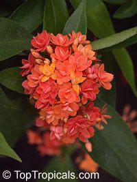 Ixora congesta Thai Flame  Click to see full-size image