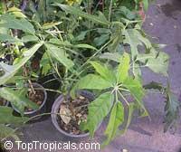 Schefflera delavayi, Schefflera  Click to see full-size image