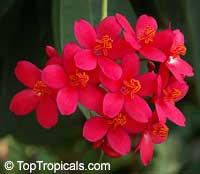 Jatropha integerrima compacta  Click to see full-size image