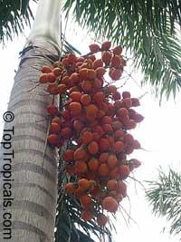 Roystonea elata, Roystonea oleracea, Roystonea regia, Florida Royal PalmClick to see full-size image