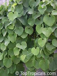 Aristolochia ringens, Aristolochia galeata, Dutchman's Pipe  Click to see full-size image