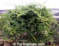 Bauhinia winitii, Thai Bauhinia  Click to see full-size image