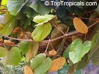 Bauhinia aureifolia, Gold Leaf Bauhinia, Bai Mai Si Thong  Click to see full-size image