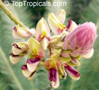 Afgekia sericea, Silky Afgekia  Click to see full-size image