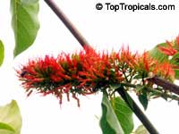 Combretum sp., Flame Creeper, Burning Bush