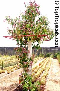 Ruellia multisetosa, Suessenguthia multisetosa, Columbian Petunia  Click to see full-size image