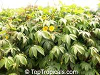 Merremia tuberosa, Ipomoea tuberosa, Operculina tuberosa, Large Woodrose, Hawaiian Woodrose, Spanish Arborvine  Click to see full-size image