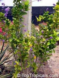 Petrea arborea, Blue Jasmine  Click to see full-size image