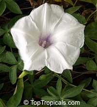Ipomoea sp., Morning glory  Click to see full-size image