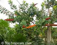 Norantea guianensis, Red Hot Poker Vine