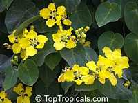Stigmaphyllon ciliatum, Orchid Vine, Amazon Vine, Golden Vine  Click to see full-size image