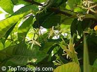 Aganosma marginata, Khruea Sai Tan  Click to see full-size image