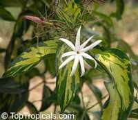 Jasminum nitidum, Jasminum magnificum, Jasminum illicifolium, Star Jasmine, Angelwing Jasmine, Shining Jasmine, Windmill Jasmine, Royal Jasmine  Click to see full-size image
