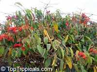 Combretum grandiflorum, Showy combretum  Click to see full-size image