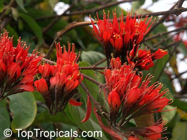Combretum Grandiflorum Showy Combretum Toptropicals Com