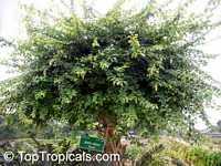 Gmelina elliptica, Gmelina villosa, Bulangan Click to see full-size image