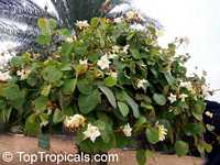 Chonemorpha fragrans, Chonemorpha macrophylla, Frangipani vine