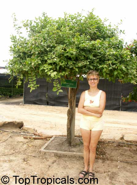 how to grow jasmin sambac seed
