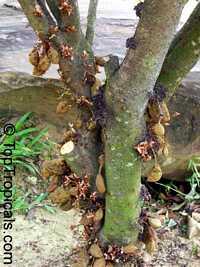 Cynometra cauliflora, Nam Nam  Click to see full-size image
