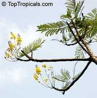 Schizolobium parahyba, Brazilian Fern Tree, Brazilian Fire-Tree, Tower Tree  Click to see full-size image