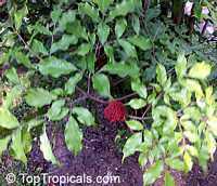 Leea coccinea, Red Leea, West Indian Holly, Hawaiian Holly  Click to see full-size image