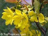 Ochna integerrima, Ochna thomasiana, Vietnamese Mickey Mouse Plant, Hoa Mai, Mai Vang, Hoang MaiClick to see full-size image