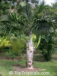 Hyophorbe verschaffeltii, Mascarena verschaffeltii, Spindle PalmClick to see full-size image