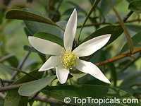Magnolia officinalis, Medicinal Magnolia  Click to see full-size image