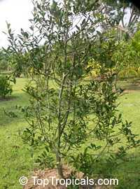 Magnolia montana, Mountain Magnolia  Click to see full-size image