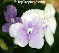 Brunfelsia mire, BrunfelsiaClick to see full-size image