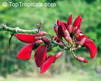 Erythrina bidwillii, Indian Coral Tree, Bidwell's Coral Tree  Click to see full-size image