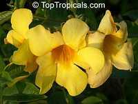 Allamanda hendersonii, Allamanda cathartica var. hendersonii, Golden Trumpet Vine  Click to see full-size image
