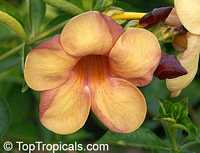 Allamanda violacea Golden Indonesian Sunset  Click to see full-size image