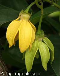 Artabotrys siamensis - Climbing Ylang-Ylang