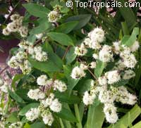 Tetracera sp., Tetracera, Bee Flower  Click to see full-size image
