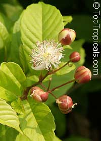Tetracera indica - Honey Bee Flower