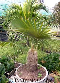 Coccothrinax crinita - Old Man Palm  Click to see full-size image